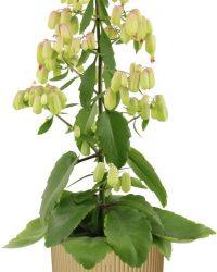 Hellogreen Kamerplant - Magic Bells Kalanchoe - 65 cm - in ELHO Vibes Fold sierpot (botergeel)