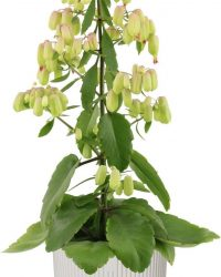 Hellogreen Kamerplant - Magic Bells Kalanchoe - 65 cm - in ELHO Vibes Fold sierpot (zijdewit)