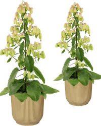 Hellogreen Kamerplant - Set van 2 - Magic Bells Kalanchoë - 65 cm - in ELHO Vibes Fold sierpot (botergeel)