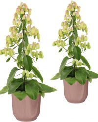 Hellogreen Kamerplant - Set van 2 - Magic Bells Kalanchoë - 65 cm - in ELHO Vibes Fold sierpot (delicaat roze)