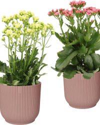 Hellogreen Kamerplant - Set van 2 - Sunny Pink en White Kalanchoë - 40 cm - in ELHO Vibes Fold sierpot (delicaat roze)