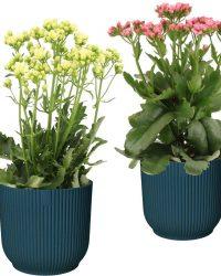 Hellogreen Kamerplant - Set van 2 - Sunny Pink en White Kalanchoë - 40 cm - in ELHO Vibes Fold sierpot (diepblauw)