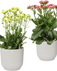 Hellogreen Kamerplant - Set van 2 - Sunny Pink en White Kalanchoë - 40 cm - in ELHO Vibes Fold sierpot (zijdewit)