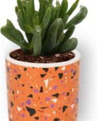 Kamerplant Crassula Horn Tree - Jadeplant - ± 12cm hoog - ⌀ 7cm - in oranje cilinder pot
