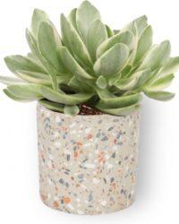 Kamerplant Crassula Money Tree - Jadeplant - ± 12cm hoog - ⌀ 7cm - in grijze pot met vlekjes