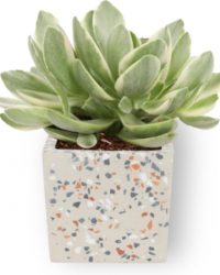 Kamerplant Crassula Money Tree - Jadeplant - ± 12cm hoog - ⌀ 7cm - in vierkante grijze pot