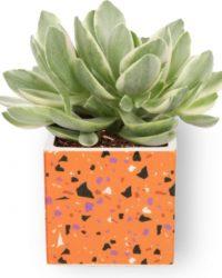 Kamerplant Crassula Money Tree - Jadeplant - ± 12cm hoog - ⌀ 7cm - in vierkante oranje pot