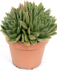 Kamerplant van Botanicly - Echeveria agavoides - Hoogte: 20 cm