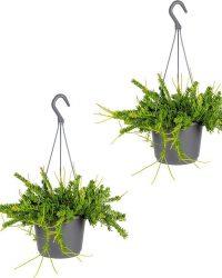 Rhipsalis 'Mesembryanthemoides'   Koraalcactus in hangpot 2 stuks - Kamerplant ⌀17 cm - ↕20 cm