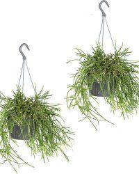 Rhipsalis 'pilocarpum'   Koraalcactus de hangpot van 2 Stük - Kamerplant ⌀17 cm - cm ↕20