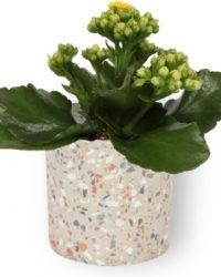 Kamerplant Kalanchoë Perfecta - met gele bloemen - ± 10cm hoog - 7cm diameter - in grjize cilinder pot