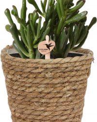 Kolibri Greens | Groene plant - Succulent Crassula Hobbit - potmaat Ø9cm