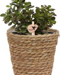 Kolibri Greens | Groene plant - Succulent Crassula Minor - potmaat Ø9cm