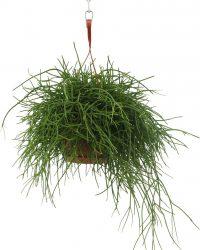 We Love Plants - Rhipsalis Pulchra - 40 cm lang - Hangplant